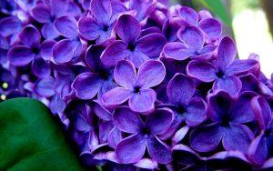 Lavender for Sleep benefits