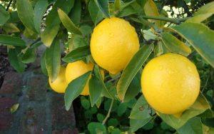 Lemon for Acne benefits