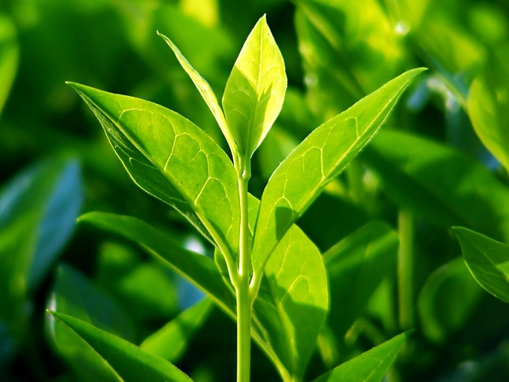 tea tree oil and eczema