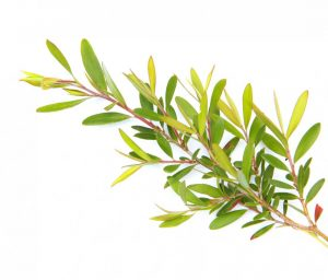 tea tree oil for eczema uses