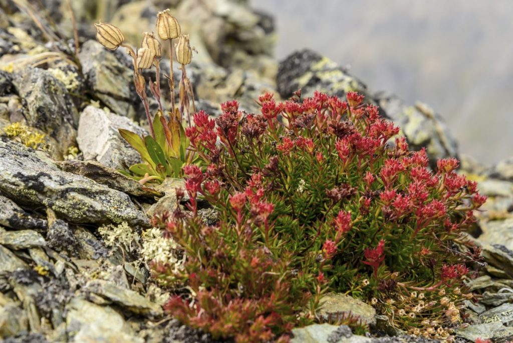 Rhodiola Rosea for anxiety