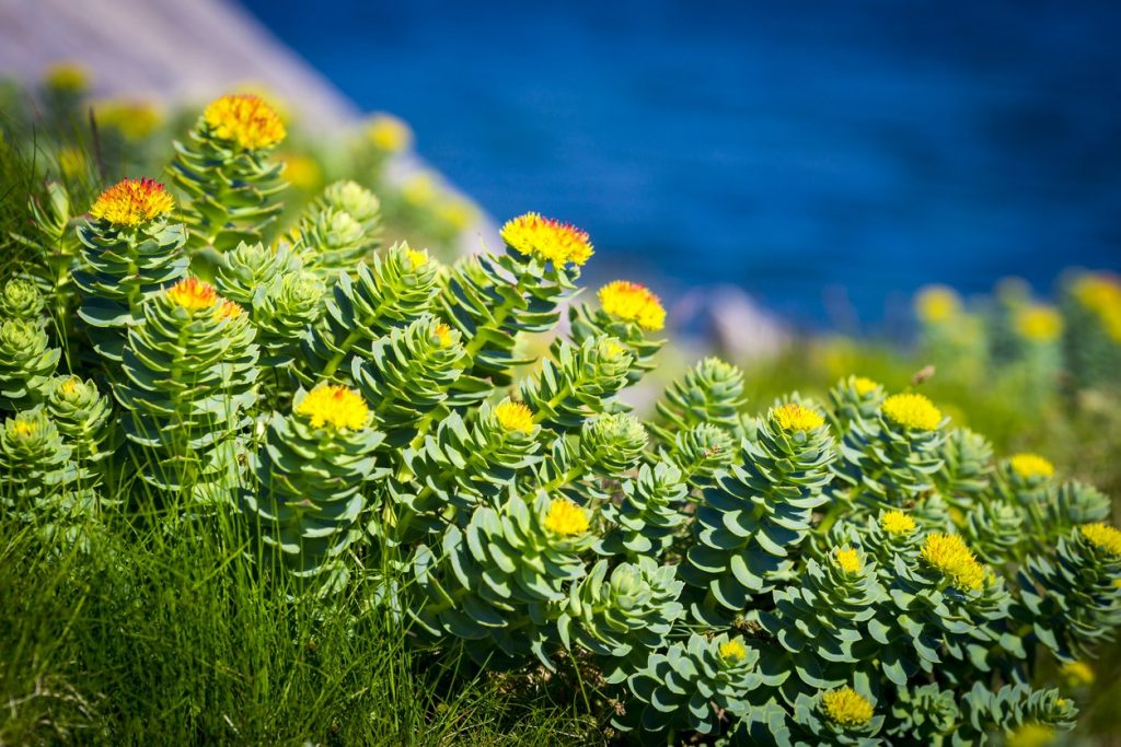 Rhodiola Rosea weight loss
